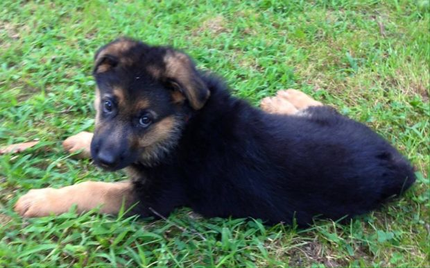 German Shepherd NewBorn Puppies for Sale in Wisconsin