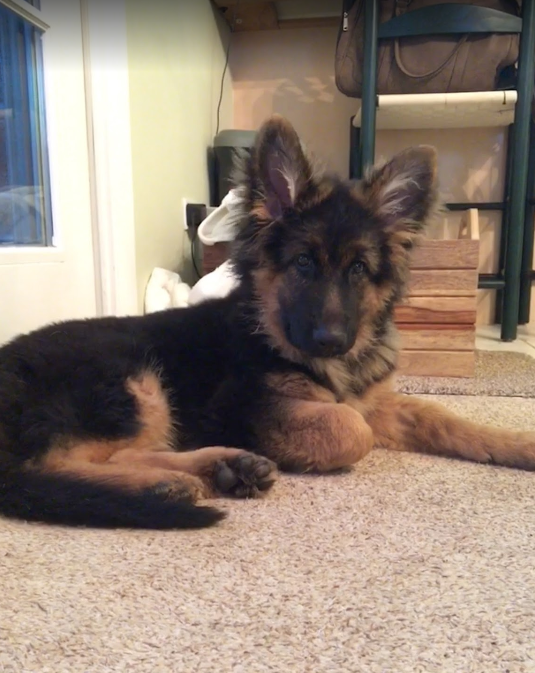 Roche German Shepherd Puppies For Sale Get Yours Today