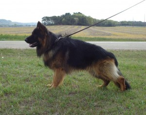 Pedigree German Shepherds
