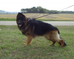 Male German Shepherd for Breeding