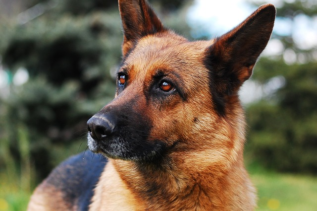 Finding the Right German Shepherd Puppies for Sale in Illinois