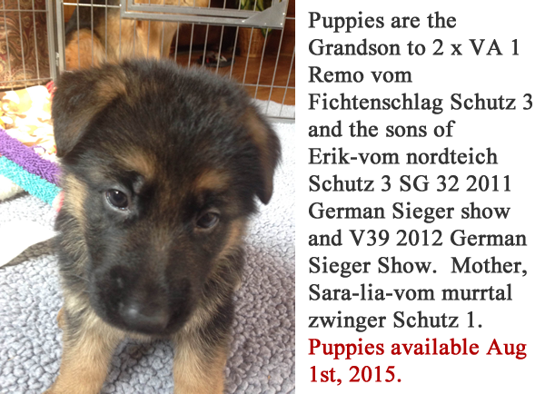 German-Shepherd-Puppies-For-Sale-Chicago-IL