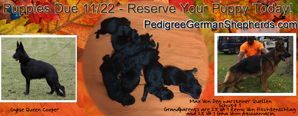 German Shepherd Puppies IL