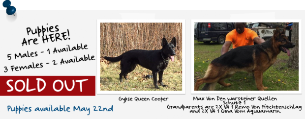 Pedigree German Shepherds: Past Litters
