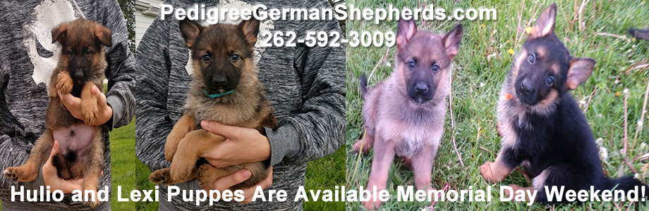 German Shepherds For Sale Chicago IL