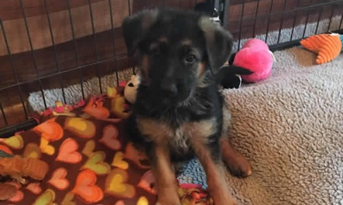 German Shepherd Puppies For Sale Chicago IL