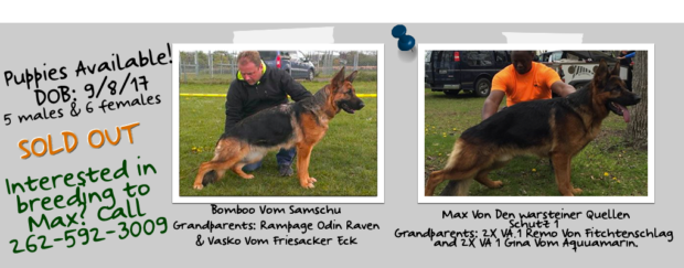Excellent German Shepherd For Breeding