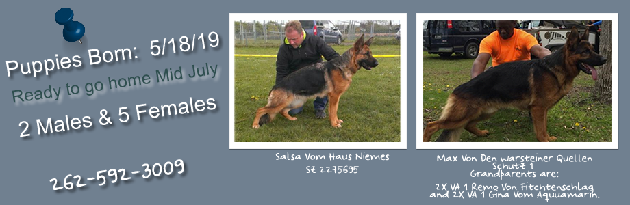 3318bb4c Roche German Shepherd | Puppies For Sale - Get Yours Today