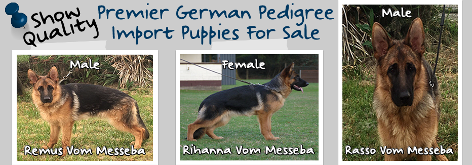 Premier-German-Pedigree-Import-Puppies-Available-932×326.fw