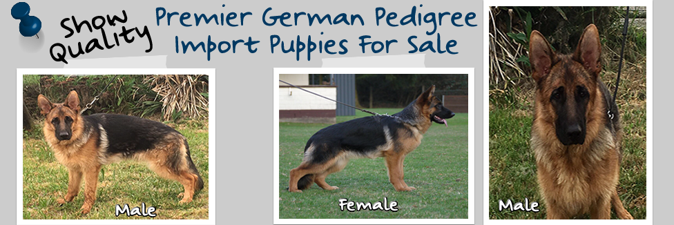 Premier-German-Pedigree-Import-Puppies-Available-976×326.fw