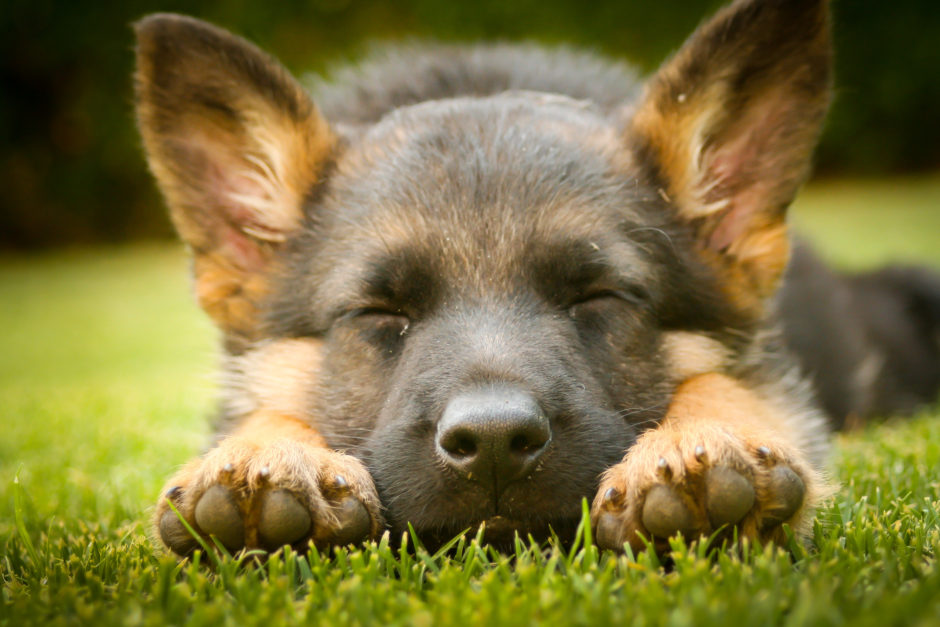 Why You Should Travel To Buy a German Shepherd Puppy