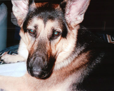cassie german shepherd