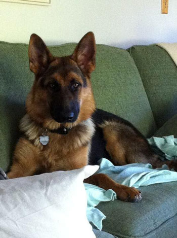 german-shepherd-mother