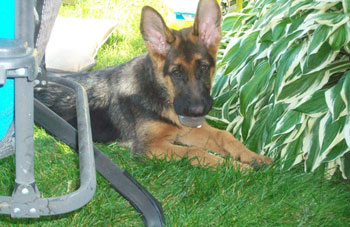 pedigree-german-shepherd-pup
