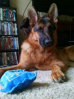 Purebred German Shepherd Wisconsin